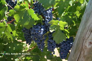 Cabernet on the Vine
