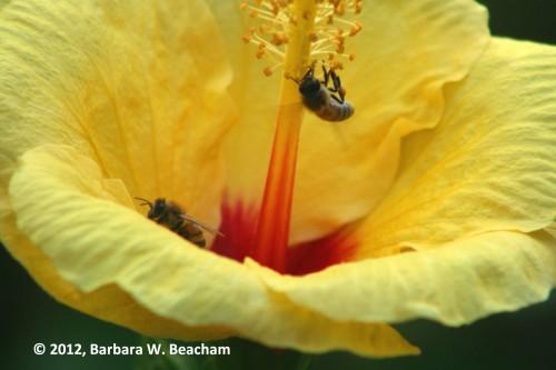Honeybees on Hibiscus