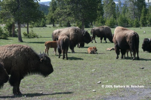 A Field of Bison