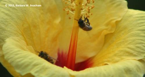 Honey bees on hibiscus