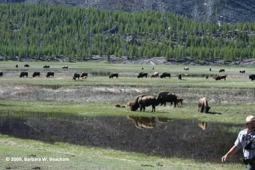 The herd returns - see the ranger?