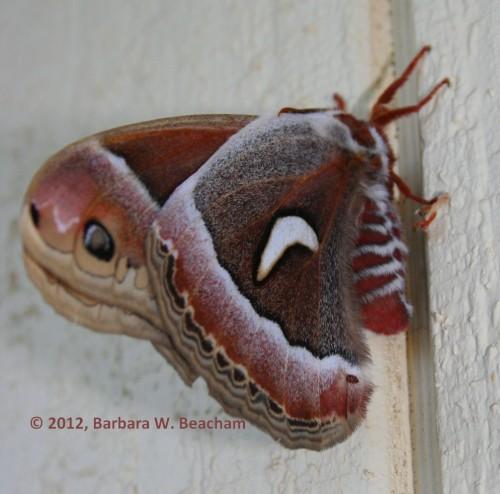 Female Ceanothus Silk Moth