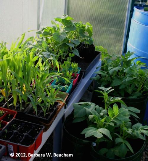 Too many vege plants!