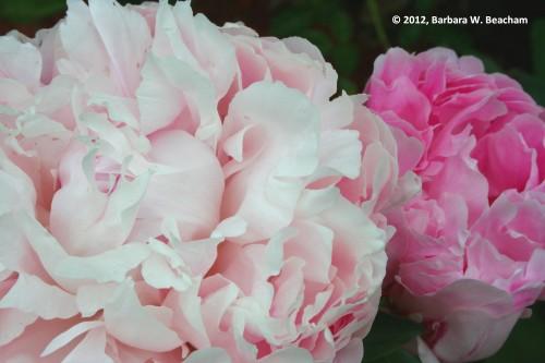 Pink double ruffle peonies
