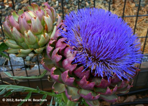 The Artichoke in Bloom