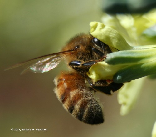 Study of Bee in Broccoli 2