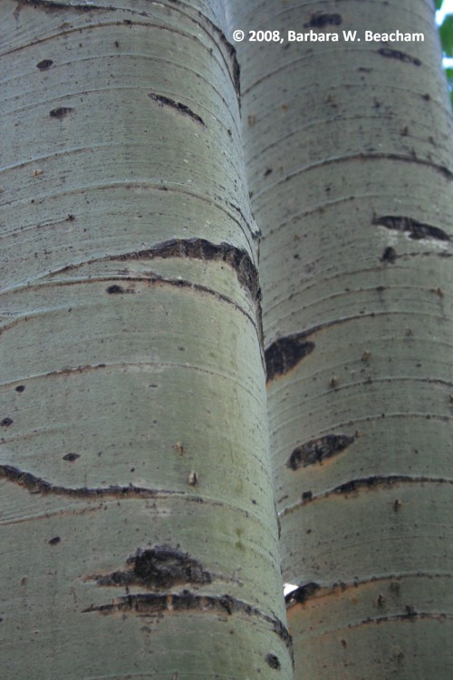 Birch in Red River, NM