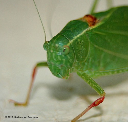 A katydid up close
