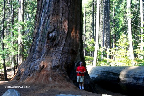 One of the big trees in Big Trees State Park