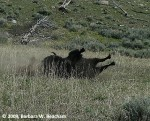A buffalo rolling in the dirt!