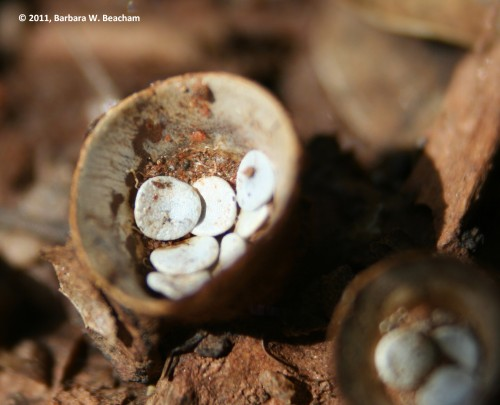 Birds Nest Fungus holds a surprise