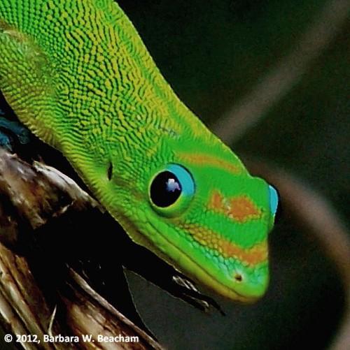 Gordy Gecko