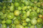 Green tomatoes fresh from the garden