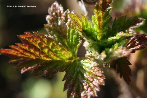 Leaves burst on the raspberries