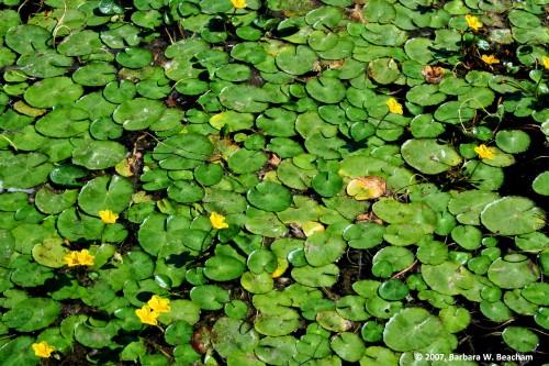Lilypad Green