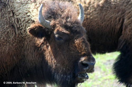 This buffalo has something to say!