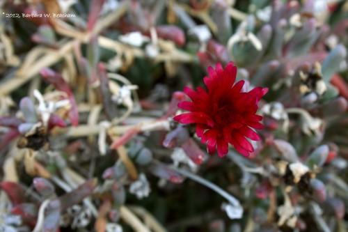 A flower in the desert in winter