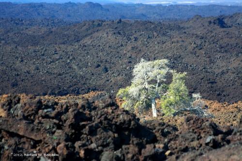 A living tree among the lava
