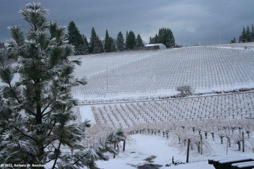 Snow blankets the vineyard
