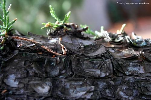 Lifting bark