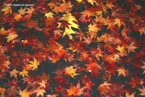 Maple Leaf Litter