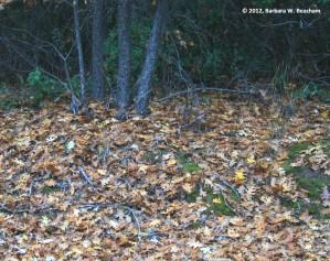 Pine and Oak Litter
