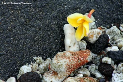 A plumeria blossom on the rocks