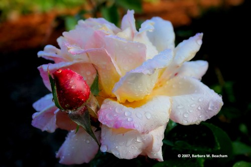A rose after the rain...