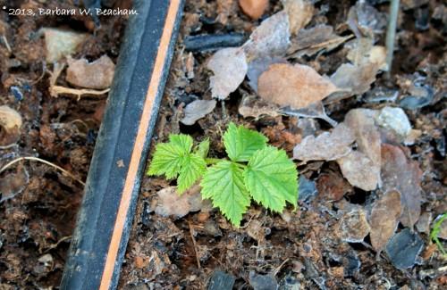Baby raspberry plant
