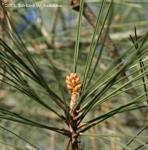 Buds on a pine