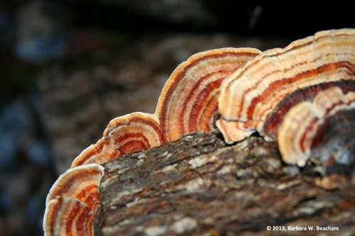 Ears of fungus