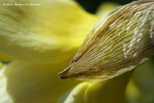The skin on a daffodil