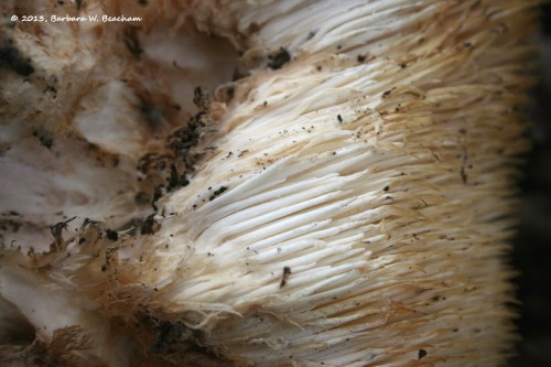 The underside of the mushroom