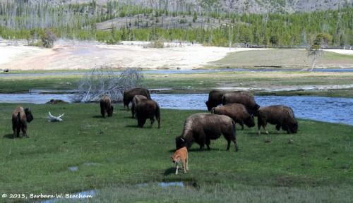 A home for the buffalo
