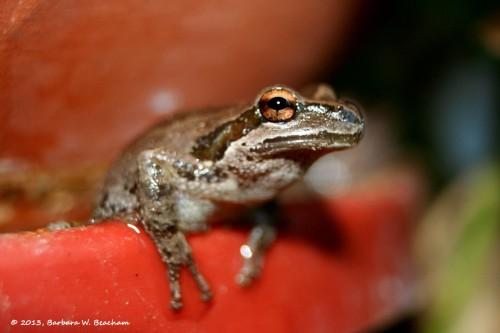 A Pacific Chorus frog at home
