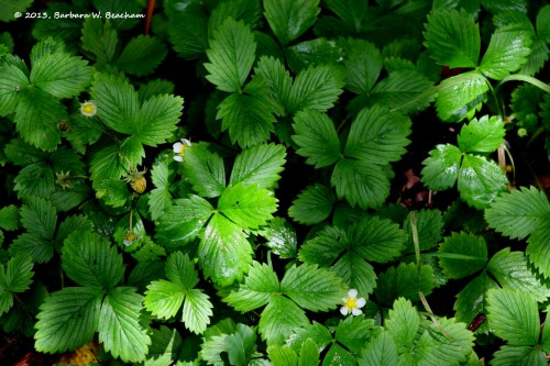 A wild strawberry patch