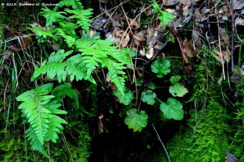 An alumroot amongst the ferns