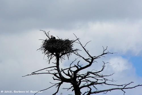 Where an eagle makes her home