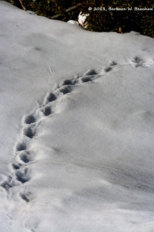 Bunny tracks in the snow