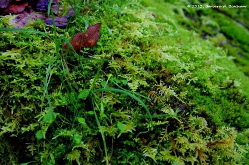 Ferny looking moss