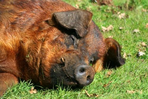 One happy pig