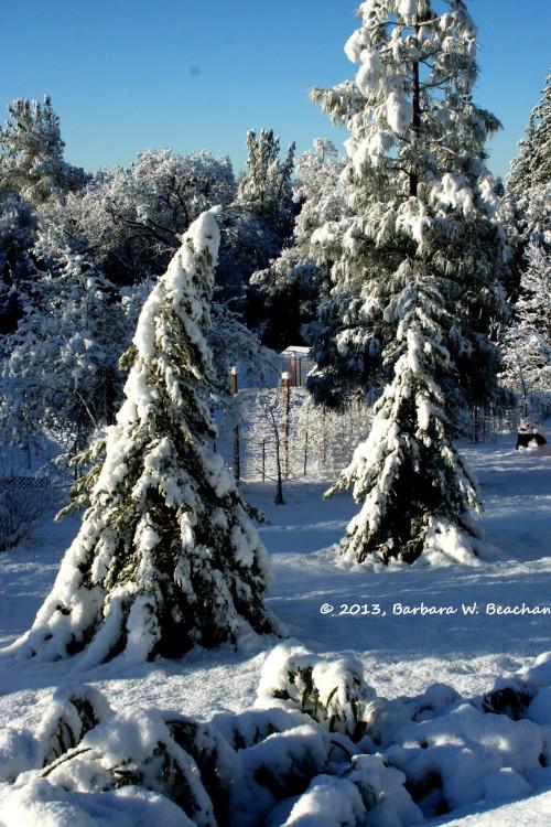 Redwoods heavy with snow