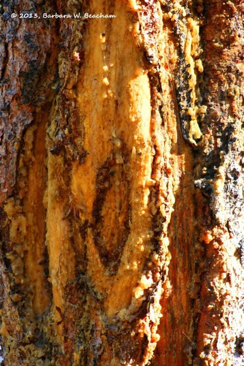 Sappy tree in Yellowstone
