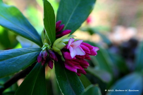 The Daphne in bloom
