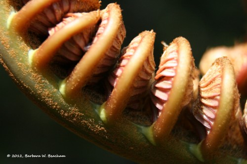 The fiddle of a fern in the rainforest