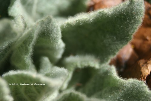 The soft green of a Woolly Mullein