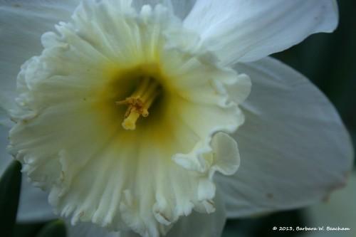 A white daffodil