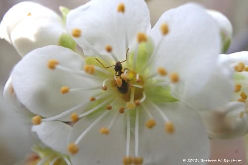 An ant on a plum blossom
