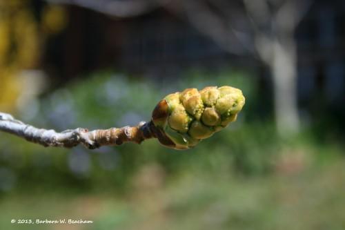 Liquid Amber developing bud