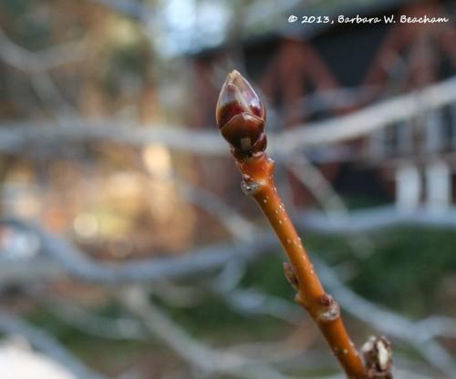 Liquid Amber leaf bud